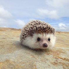 "<b><a href=""http://go.redirectingat.com?id=74679X1524629&sref=https%3A%2F%2Fwww.buzzfeed.com%2Fsummeranne%2Fthe-fantastic-adventures-of-biddy-the-hedgehog&url=http%3A%2F%2Finstagram.com%2Fbiddythehedgehog&xcust=2300568%7CBFLITE&xs=1"" target=""_blank"">Biddy</a> should be a hero to us all, in terms of general intrepidness.</b>"