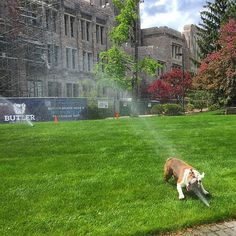 Playing in the sprinkler and drinking from the hose.life's simple pleasures, even for a mascot. Butler University, She Is Fierce, Sprinkler, Simple Pleasures, Bulldogs, Drinking, English, Friends, Cats