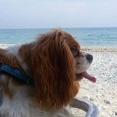 😍 #VSCOcam #cavalier #cavalierkingcharlesspaniel #cavalierkingcharles #spaniel #puppy #puppylove #cavaliersofinstagram #kingcharlescavalierspaniel #cavalier #dog #puppiesofinstagram #featuremycavalier #cavs #cavlife #cavlovers #cavworld #dogsofinstagram #puppylove  #ckcs #puppiesofinstagram #summer #travel #dogstagram #dog #dogsofinsta #dogs #summer #greece #sunrise #beachlife #beach