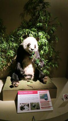 Panda Panda Love, Adorable Animals, Cats, Pandas, Museums, Culture, Gatos, Kitty, Cat