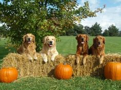 Golden Retrievers on a beautiful fall day Fall Dog Photos, Fall Pictures, Dog Pictures, Doggies, Dogs And Puppies, Autumn Animals, Goofy Dog, Puppy Party, Dog Halloween