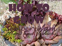 How to Grow Sempervivum Hens and Chicks
