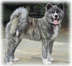 Grey Akita