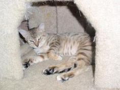 Lena is an adoptable Tabby Cat in Dahlonega, GA. Lena is just over a year old and has already been a mommy. We took her in while she was pregnant and she gave birth to some very nice kittens who alrea...