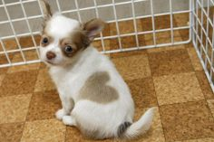 Chihuahua puppy, born with a perfect heart shaped marking -follow the link for more awww www.thepetsplanet.com