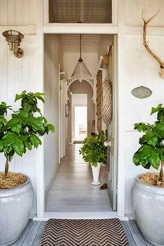 Fiddle leaf fig trees. Everywhere.