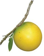 """Abiu Fruit - It's a creamy sweet caramel/vanilla flavour, a treat when eaten slightly chilled. When ripe, the coat turns a yellow color. The abiu is a occupant of the headwaters of the Amazon. It grows natural on the lower eastern slopes of the Andes as of southwestern Venezuela to Peru. It is often cultivated in the region of Iquitos, Peru. Eat only the soft """"jelly like"""" fruit and don't scratch too close to the skin which exudes an unpleasant milk core."""