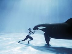 Orca or Killer Whaleis the largest species of the oceanic dolphin family (Delphinidae) - by Lilly ~ Pixdaus