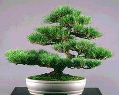 Pinus Thunbergii Seeds (Pinus Thunbergiana, Japanese Black Pine Seeds) for sale on rarexoticseeds. International shipping of rare and exotic plant seeds. Bonsai Pruning, Bonsai Plants, Ikebana, Buy Bonsai Tree, Pine Seeds, Specimen Trees, Meditation Garden, Bonsai Seeds, Seeds For Sale