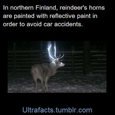 Every year, about 4,000 reindeer lose their lives on Finnish roads in car accidents, causing millions in damages every year. And now, the Finnish Reindeer Herders Association is testing out a new way to make the large mammals more visible to drivers: reflective paint