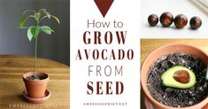 If you've been trying to root avocado seeds by suspending them over a glass of water with toothpicks, there is an easier way. Make use of all those avocado pits and grow free houseplants. Avocado Plant From Seed, Mango Plant, Avocado Toast, Growing Veggies, Growing Plants, Growing An Avocado Tree, Avocado Dessert, Mint Plants, Gardens