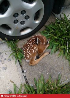 Aw!Little baby deer sleeping in a parking lot!