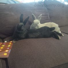 Bunnies make themselves comfortable for a TV session - August 7, 2016