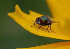 Green Bottle Fly or Greenbottle Fly macro photography image on yellow flower by New England award winning fine art photographer Juergen Roth. Macro photo art of the resting blowfly was created at Broad Meadow Brook Conservation Center and Wildlife Sanctuary in Worcester, MA, captured on a late morning in June 2014.  Good light and happy photo making!  My best,  Juergen http://www.exploringthelight.com http://www.rothgalleries.com