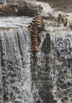 Beautiful daredevil tiger.. he must really want something down there lol