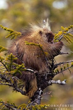 Porcupine in Tree 1 Chugach National Forest Alaska