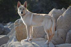Perro de la raza Can de Palleiro