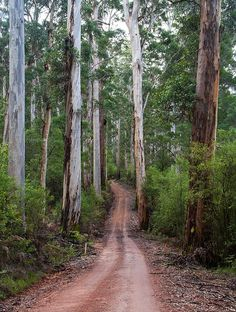 This photo from Western Australia, West is titled 'Tall karri trees'. Australia Landscape, Australia Travel Guide, Australian Bush, Tree Forest, Western Australia, Nature Photos, Beautiful Places, Peaceful Places, Amazing Places