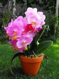 Beautiful Phalaenopsis Blume,known as Moth Ochids Elegant Flowers, Exotic Flowers, Pretty Flowers, Pink Flowers, Gerbera Flower, Flower Pots, Mason Jar Garden, Orchid Fertilizer, Indoor Flowering Plants