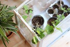Permaculture, Potager Bio, Spinach, Vegetables, New York, Gardening, Plantation, Nature, Garden
