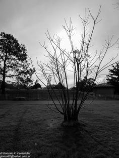 https://flic.kr/p/wXq9YM | Los árboles mueren de pie. Trees die standing up. | Parque de la ciudad. Buenos Aires. Argentina.
