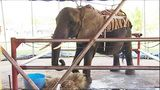 Activists say 'Nosey' the elephant deserves better home, protest plans for new zoo   WFTV