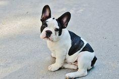 Você quer um cão que não incomoda o vizinho? O Buldogue Francês é uma ótima escolha por que raramente late e é cão carinhoso, fiel à família e brincalhão.