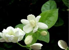 White Showy Fragrant Cape Jasmine Shrub, Gardenia Flower Seeds ...