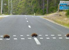 Echidna crossing, only in Australia.