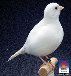 Canary Birds, Serin, Beautiful Birds, Fancy, Cute Birds, Animals And Birds, Colorful Birds, Loom Animals, Little Birds