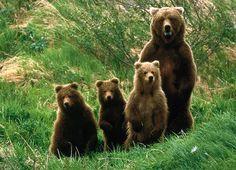 Os ursídeos (latim científico: Ursidae) constituem uma família de mamíferos plantígrados, da ordem dos carnívoros, geralmente de grande porte, compreendendo os ursos e o panda. Embora classificado como urso, e logo após, como procionídeo, junto com o panda-vermelho, o panda-gigante foi recolocado dentro da família dos ursídeos devido às novas pesquisas genéticas. Algumas características comuns dos ursos são pelagem espessa, rabo curto. Os ursídeos são geralmente animais omnívoros.