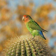 love bird photos in arizona - Google Search