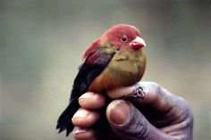 Shelley's crimsonwing finch.One of the rarest finches in Africa. This is one of only two known photographs in the world.Photo. Colin Jackson