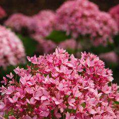Hortensia hydrangea bella Anna