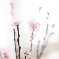 """""""Deilig å starte uken med florlette ferskenblomster   #Repost @rammealvor ・・・ #flowerpower #peachflowers #bukett #bouquet #winterlight #light…"""""""
