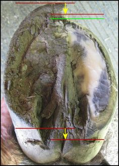 The role of the natural hoof trimmer is to provide the trim nature provides; specifically, to trim the hoof as nature would trim it given the right circumstances.