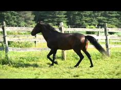 APSL Approved Lusitano Stallion at Stud | Stallions At Stud | Epona Exchange