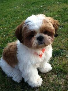Cute Baby Dogs, Cute Dogs And Puppies, Cute Baby Animals, Pet Dogs, Pets, Perro Shih Tzu, Shih Tzu Puppy, Shih Tzus, Shitzu Puppies