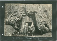 A. A. Forbes' Team In Redwood Tree. | by SMU Central University Libraries. Pinned by www.CaliforniasHarvest.com