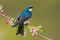 Tree Swallow on flower buds