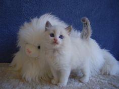 ragdoll cat blue point mitted kitten