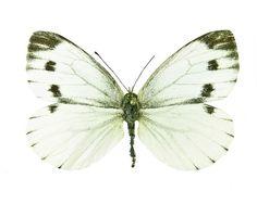 Lanttuperhonen Peda, Butterflies, Animales