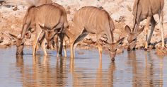 The Kudu come to drink.
