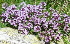 plants for an alpine rock garden thyme-flowering-herb-purple-flowers-alpine-plants-for-rock-garden-rockerythyme-flowering-herb-purple-flowers-alpine-plants-for-rock-garden-rockery