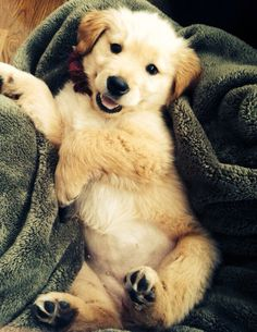 Lil' retriever puppy