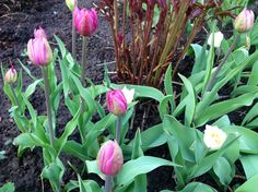 Tulips in peony bed 19.5.