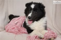 Adorable BiBlack puppy