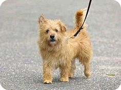 Wainscott, NY - ANIMAL RESCUE FUND OF THE HAMPTONS, Terrier (Unknown Type, Medium) Mix. Meet BENNY, a dog for adoption. http://www.adoptapet.com/pet/13003765-wainscott-new-york-terrier-unknown-type-medium-mix