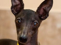 Adopt Hamilton, a lovely 5 years  3 months Dog available for adoption at Petango.com.  Hamilton is a Italian Greyhound and is available at the National Mill Dog Rescue in Colorado Springs, Co.  www.milldogrescue.org #adoptdontshop  #puppymilldog   #rescue  #adoptyourfriendtoday