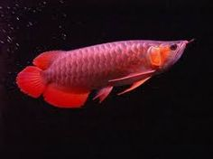 Red Arowana Scleropages Formosus: The red Arowana is very popular among the Chinese hobbyists and is believed to bring prosperity and wealth to the owner.